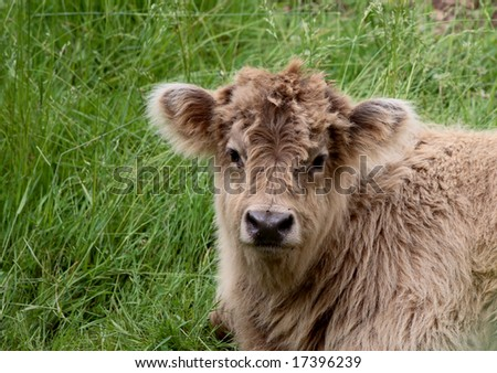 calf sits in grass on a hot day - stock photo