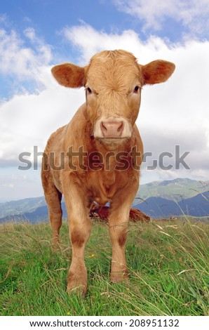 calf staring at the camera with mountains in background - stock photo
