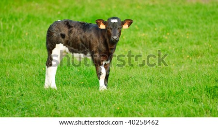 calf with green grass backdrop - stock photo