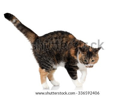 calico and tabby cat mix - stock photo