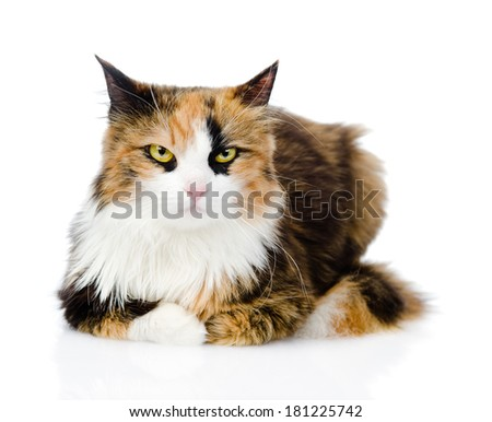Calico cat in front. isolated on white background