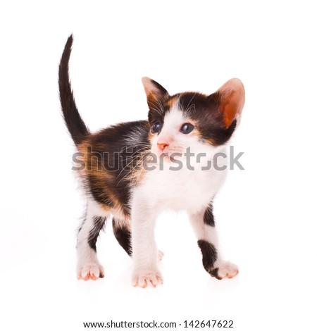 Calico cat - little kitty  isolated on white background - stock photo