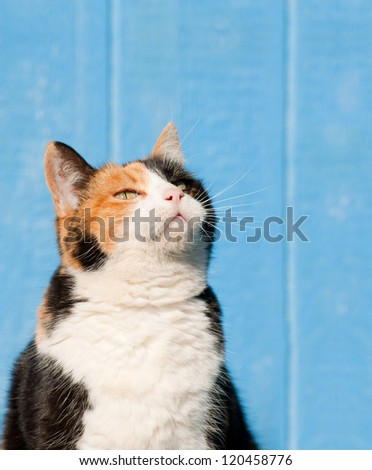 Calico cat looking up above her into copy space - ready for your message - stock photo