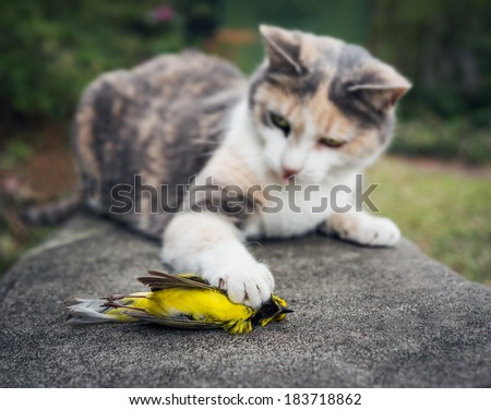 Calico Cat toys with its unfortunate prey, a beautiful yellow Hooded Warbler bird.  - stock photo