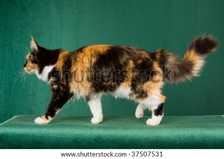 Calico Maine Coon showing pattern and body on green background - stock photo