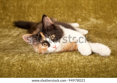 Calico Norwegian Forest Cat lying on green background - stock photo