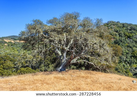 California Black Oak, golden grass, and blue sky, on the California Central Coast, near Hearst Castle and Cambria, CA.