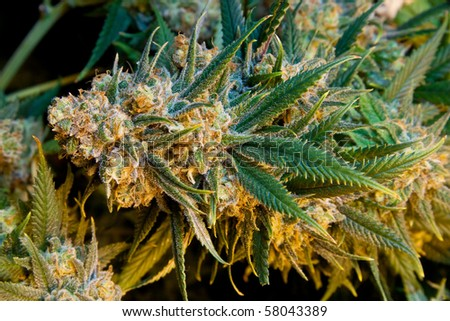 California Cannabis - stock photo