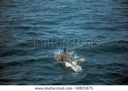 "California common dolphin ""Delphinus delphis"" swim in the warm pacific ocean off the coast of southern california"