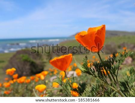 California gold poppy flowers, Highway 1, near Monterey, California - stock photo