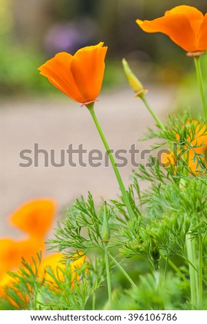 California golden poppies Macro Close Up - stock photo