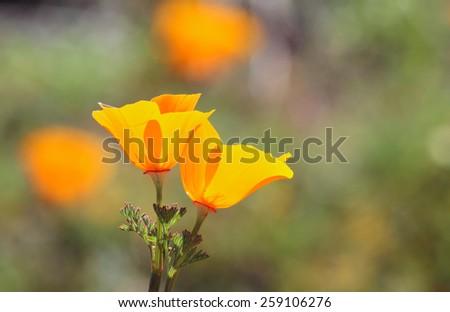 California golden poppy flowers, California, USA - stock photo