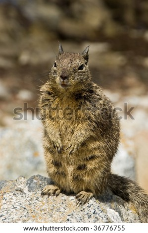 California Ground Squirrel - stock photo