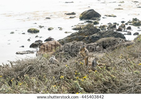 California Ground Squirrel on the cliffs of Elephant Seal Vista Point Pacific coast California