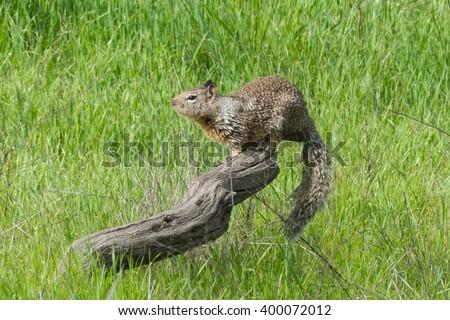 California Ground Squirrel, Otospermophilus beecheyi - stock photo