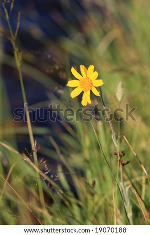 California mountain flower - stock photo