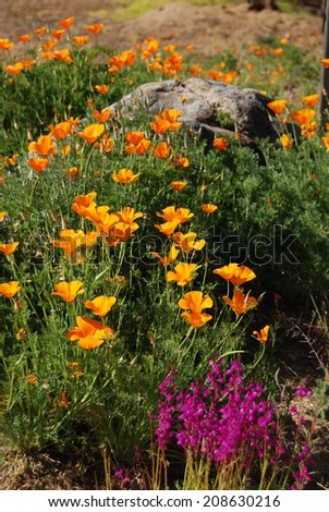 California poppies grow around a granite boulder. - stock photo