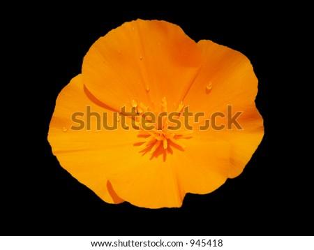 California Poppy - stock photo