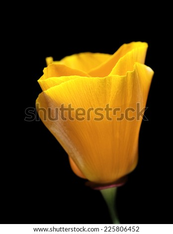 California Poppy Flower on a Black Background - stock photo