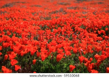 California poppy reserve - stock photo