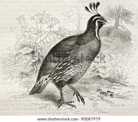 California Quail old illustration (Callipepla californica). Created by Kretschmer and Illner, published on Merveilles de la Nature, Bailliere et fils, Paris, ca. 1878 - stock photo