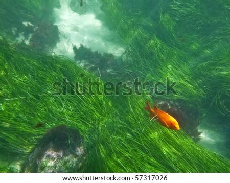 California sea grass and a orange Garibaldi fish at La Jolla Cove. - stock photo