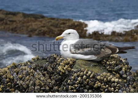 California Sea Gull perched on tide-pool rocks crusted with muscle shells - stock photo