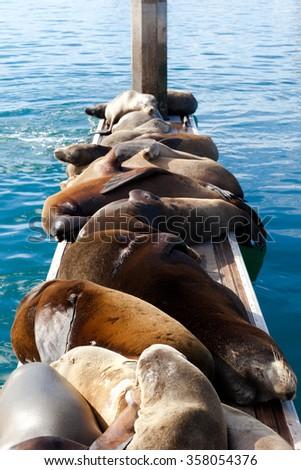 California Sea Lion - stock photo