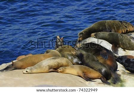 California Sea Lions Lie on the Pacific Ocean Coast  - La Jolla, San Diego, California (Zalophus californianus) - stock photo