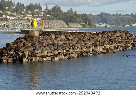 California Sea-lions on rocks in Newport Oregon. - stock photo