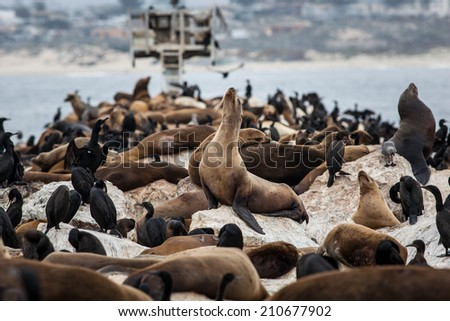 California sea lions (Zalophus californianus), which are very social and gregarious, are one of five species of sea lions worldwide. This is the only species whose population is expanding. - stock photo