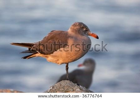 California Seagull, Sunset - stock photo