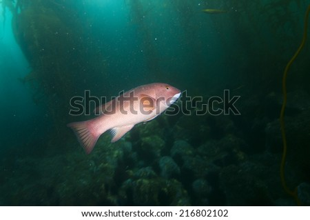California sheephead (Semicossyphus pulcher)