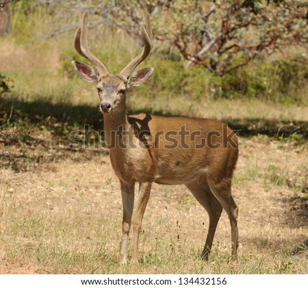 Californian Black-tailed buck - stock photo