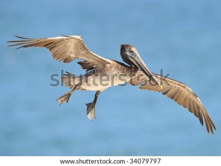 californian brown pelican flying wings spread, santa barbara, northern california, west coast united states. exotic giant bird in coastal ocean setting - stock photo