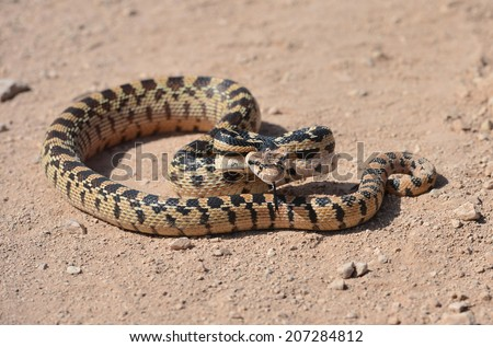 Californian desert glossy snake in defensive position, mohave desert, california, united states. serpent reptile non venomous coiled strike