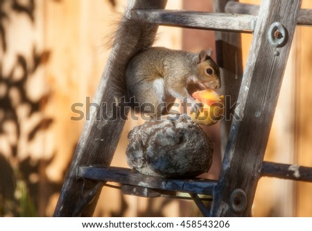 Californian ground squirrel feasting on a peach in a garden - stock photo