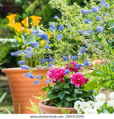 Californian lilac, dahlias and zantedeschia flowers add colour to a garden. - stock photo