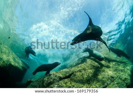Californian sea lion - stock photo