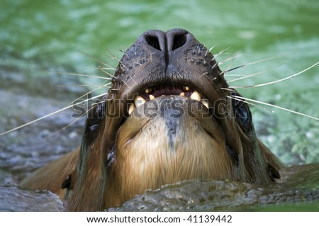 Californian Sea Lion - Zalophus californianus - stock photo