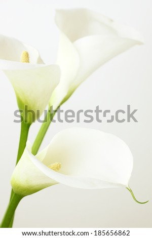 Calla lilies close-up. Shallow DOF. - stock photo