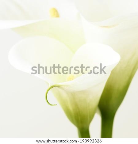 Calla lilies close-up. Shallow DOF. - stock photo