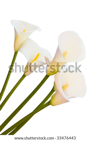 calla lilies isolated with clipping path - stock photo