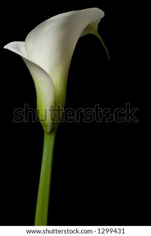Calla Lily 17 - stock photo