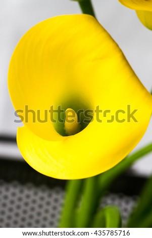 Calla lily - stock photo