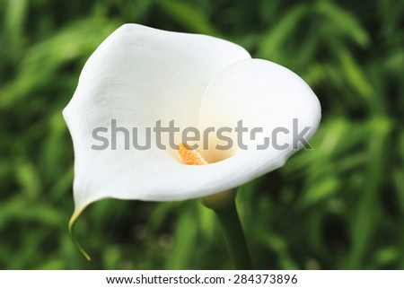 Calla Lily,Arum Lily,Gold Calla,closeup of beautiful white flower blooming in the garden in summer - stock photo