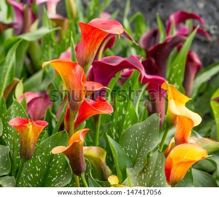 Calla lily field - stock photo