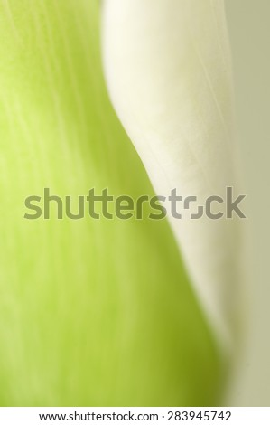 Calla lily flower macro shot, local focus - stock photo