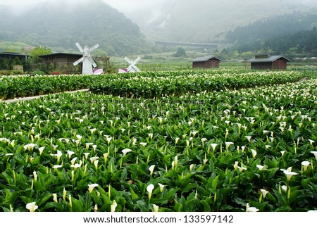 calla lily in yangmingshan national park