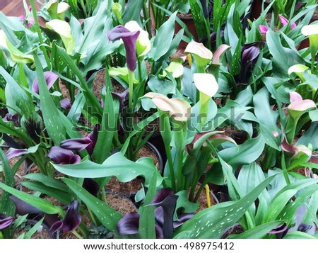Calla lily white and purple flower and green leaves in garden.